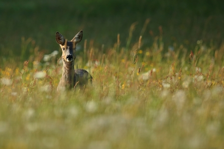 Roe deer in a grassland