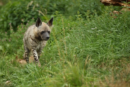 Brown hyena, Hyaena brunnea in zoo