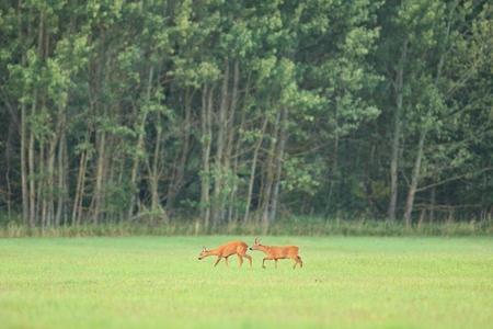 Roe deer grazing on grassland Banco de Imagens - 92653292