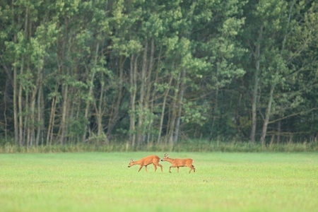 Roe deer grazing on grassland Reklamní fotografie