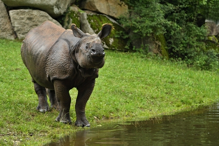 Indian rhinoceros by a river