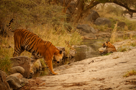 Tigers, Panthera tigris in the nature habitat