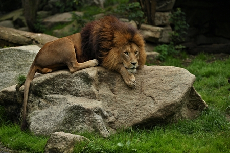 Lion resting on a rock