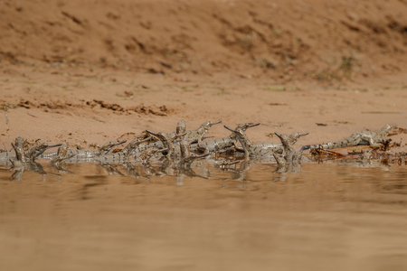 Indian gavial, Gavialis gangeticus in the nature habitat, Chambal River Sanctuary