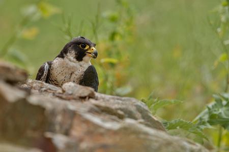 Falcon on a rock Banco de Imagens - 92652878