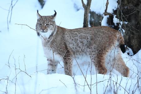 Eurasian lynx in winter day Reklamní fotografie