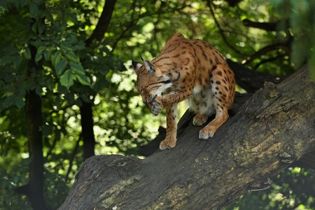 Eurasian lynx on a tree