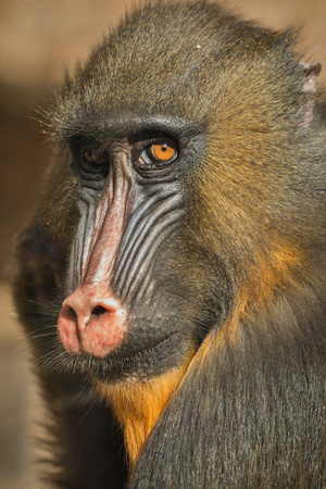 Close-up of the face of a mandrill