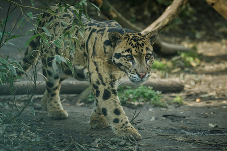 Clouded leopard in the zoo Banco de Imagens