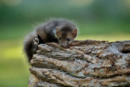 A cute beech marten Standard-Bild