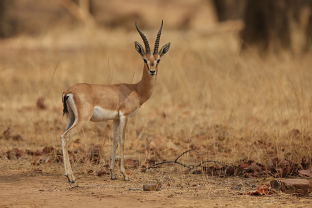 Indian gazell in its nature habitat