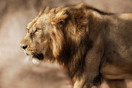 Beautiful close-up of a wild lion