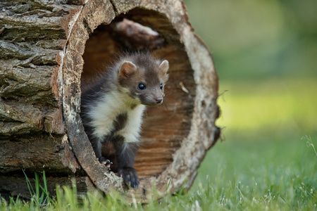 Close-up of cute beech marten