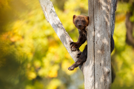 Majestic wolverine on tree in the nature habitat Banco de Imagens