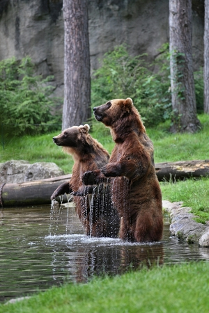 Two bears in a pool