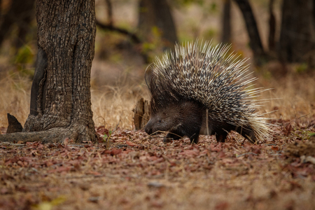 Porcupine, Hystrix indica in the nature habitat