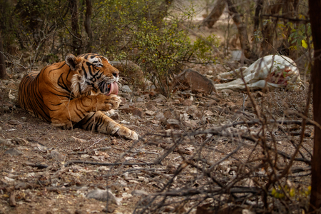 Tiger with it's prey in the nature habitat Banco de Imagens