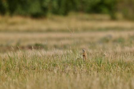 Common ground squirrel, Spermophilus citellus on blooming meadow