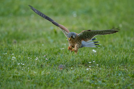 Common Kestrel, Falco tinnunculus hunting a mouse 版權商用圖片
