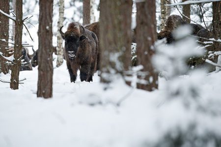 European bison, Bison bonasus in forest during winter