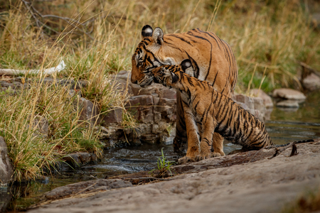 Tiger and cub by the water in their natural habitat Stock Photo