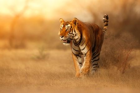 Wild tiger, Panthera tigris in its natural habitat