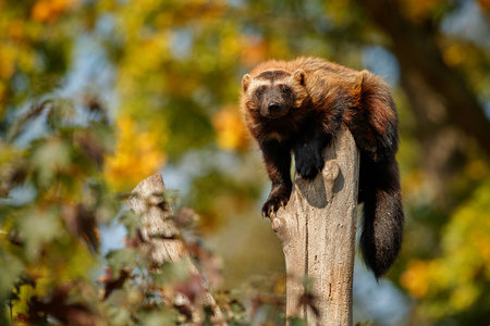 Majestic wolverine on tree in the nature habitat Stock Photo