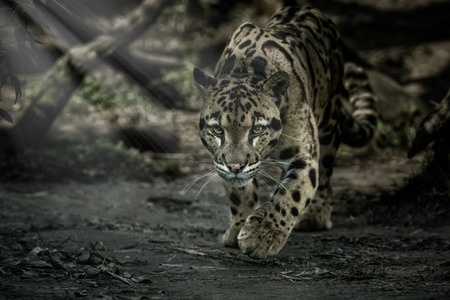 Clouded leopard in the zoo, Czech Republic
