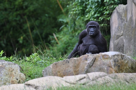 Endangered eastern gorilla in zoo