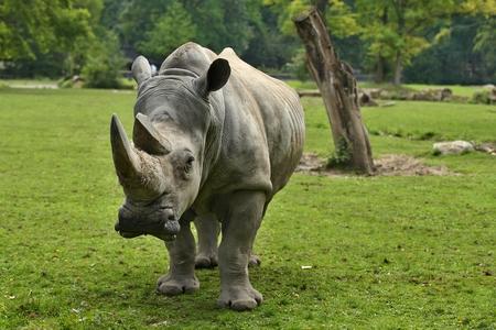 White rhinoceros in zoo