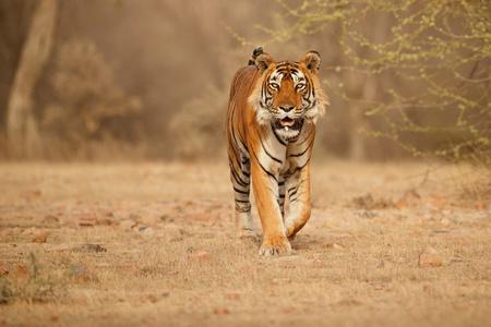 Tiger in its natural habitat
