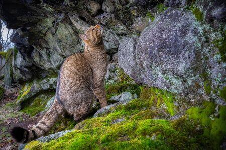 European wildcat in beautiful nature habitat. Wild animal in the forest. Felis silvestris. Wild eurasian animal. European wildlife. Wildcats.