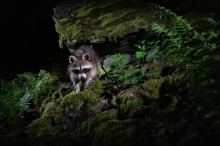 Raccoon in beautiful nature habitat. Rare and shy animal. Procyon lotor. Wild nocturnal animal. Wildlife animals.