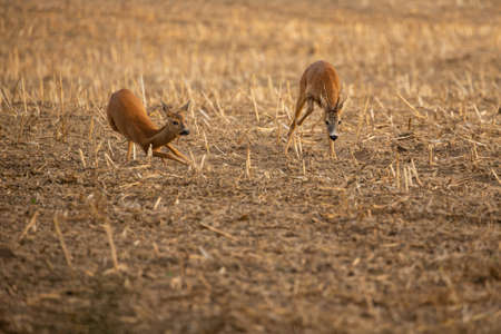Roe deer in the magical nature. Beautiful european wildlife. Wild animal in the nature habitat. Roe deer rut.