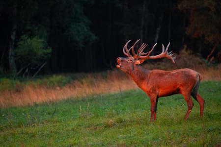 Red deer in the nature habitat during the deer rut Reklamní fotografie