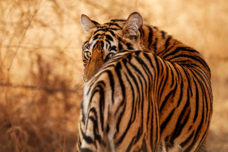 Beautiful tiger in the nature habitat. Tiger pose in amazing light. Wildlife scene with wild animal. Indian wildlife. Indian tiger. Panthera tigris tigris. Reklamní fotografie