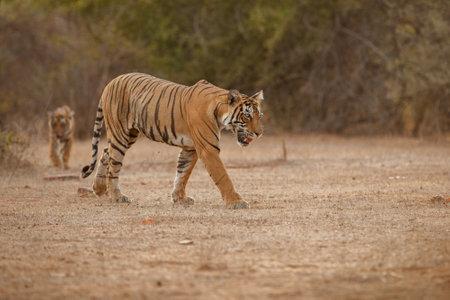 Beautiful tiger in the nature habitat. Tiger pose in amazing light. Wildlife scene with wild animal. Indian wildlife. Indian tiger. Panthera tigris tigris. Banco de Imagens