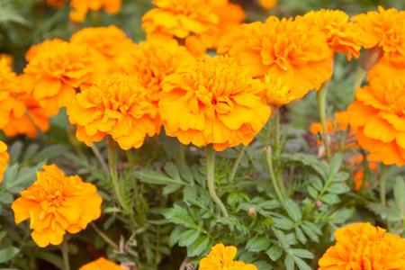african marigold: Marigolds Tagetes erecta, Mexican marigold, Aztec marigold, African marigold.