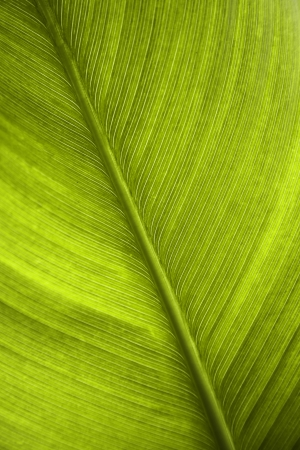 botanical branch: green leaf of a banana tree