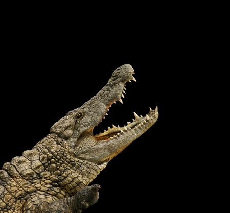 africa crocodile: dangerous alligator with open mouth Stock Photo