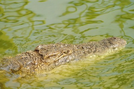 Alligator hunting in the rivers of Africa  photo