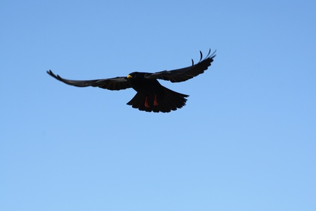 A black crow flies at the blue sky  photo