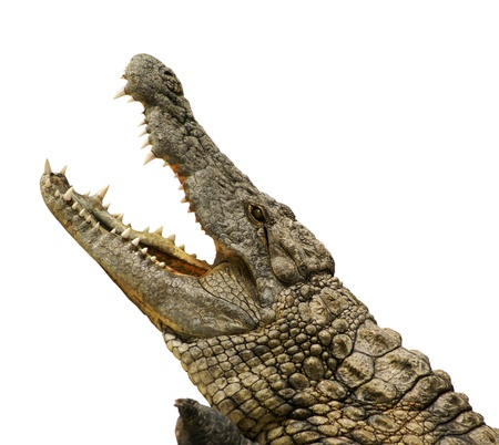 dangerous alligator with open mouth photo