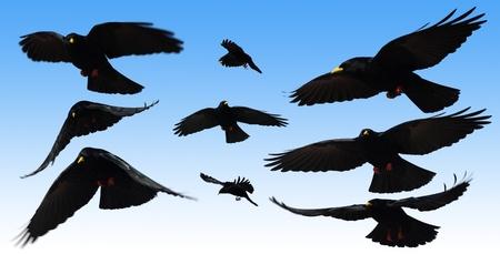 A black crow flies at the blue sky  photo