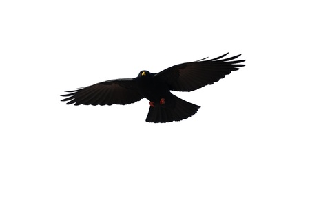 crows: A black crow on white background free