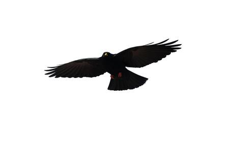 Un corbeau noir sur fond blanc sans