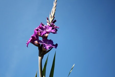 iridaceae: Beautiful purple gladiolas on a blue background Stock Photo