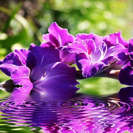 iridaceae: Beautiful purple gladioli in the summer Stock Photo
