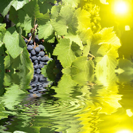 grapes grown in the sun Stock Photo - 12579509