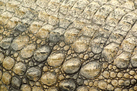The armor of an alligator in Africa photo